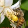 زنبور عسل در حال جمع آوری گرده گل- عسل طبیعی کوهستان