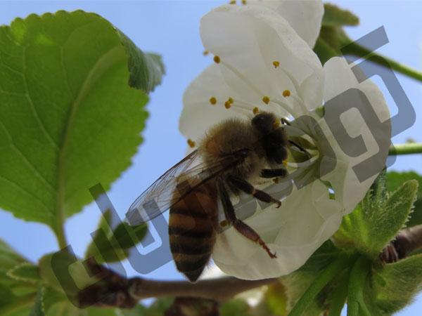 عسل کوهستان برای عسل درمانی
