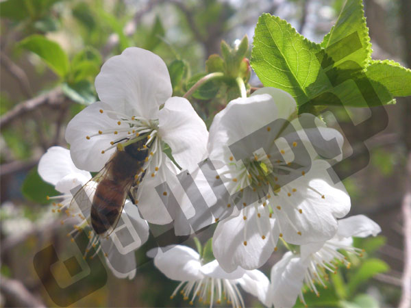 زنبورستان عسل کوهستان عموشاهی
