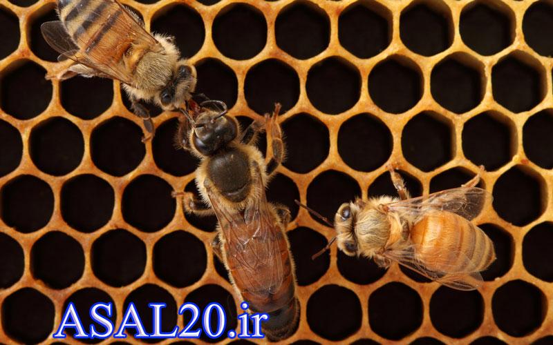 زنبور ملکه - عسل کوهستان