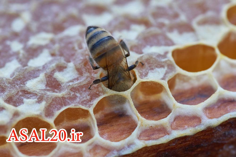 عسل کوهستان، زنبور عسل و عسل مومی