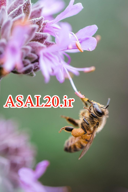 زنبور عسل وحشی