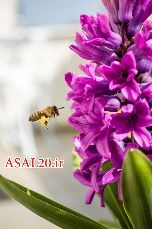 عسل کوهستان، زنبور عسل و شهد گل