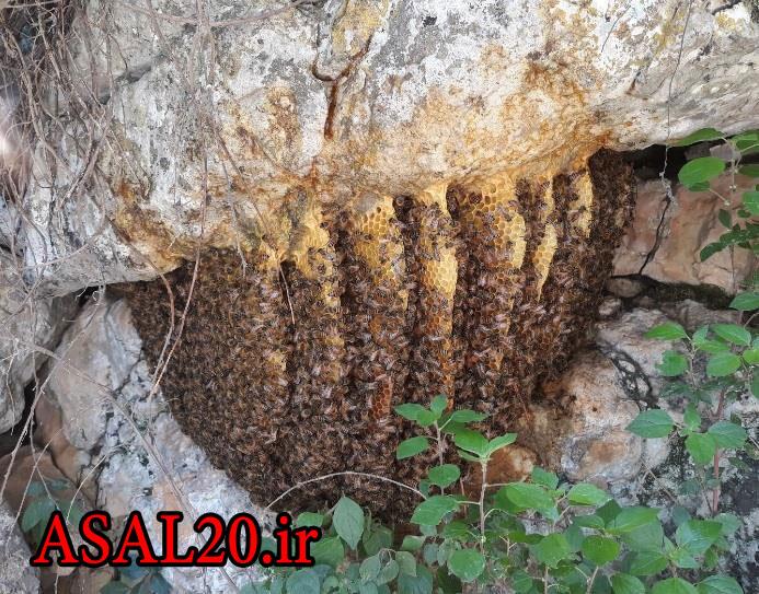 عسل طبیعی کوهستان وحشی ، عسل وحشی کوهی