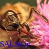 زنبور عسل-عسل طبیعی کوهستان عموشاهی